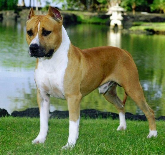 cane amstaff carattere
