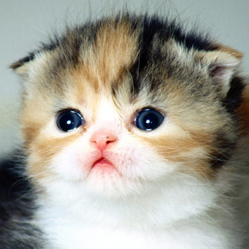 gatti di razza: scottish fold
