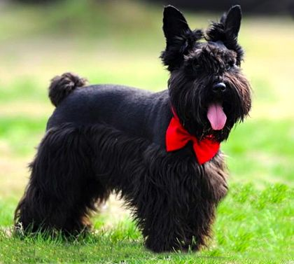 cane scottish terrier