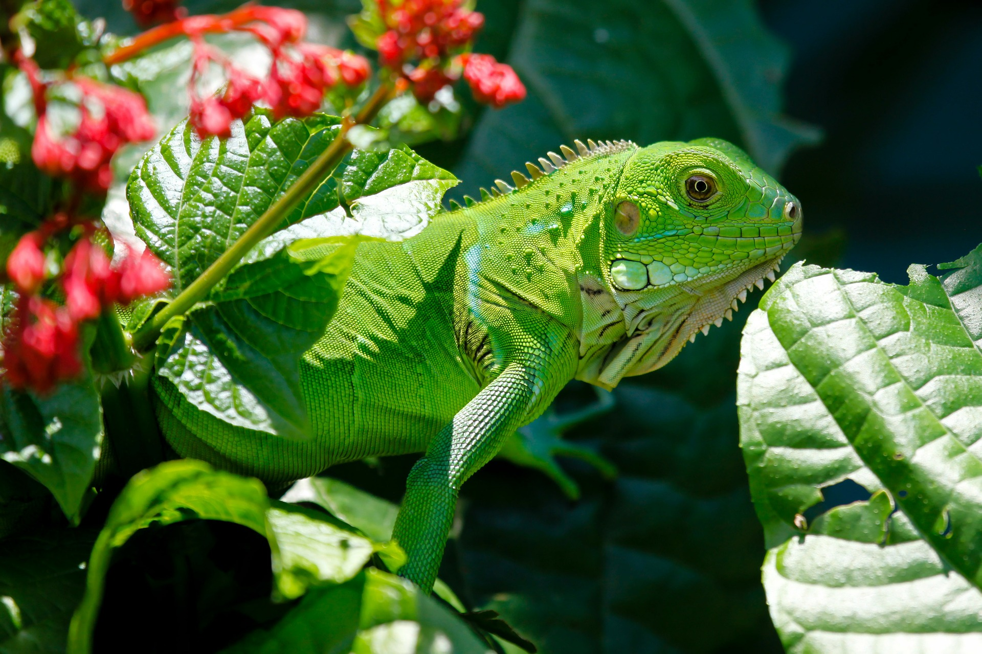 Iguana come animale domestico